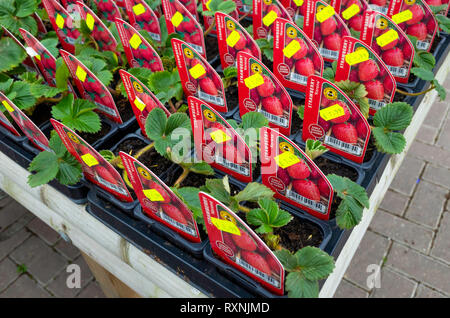 Garden Centre display of Korona early season strawberry  bedding plants for sale for spring planting label showing prices - Stock Image