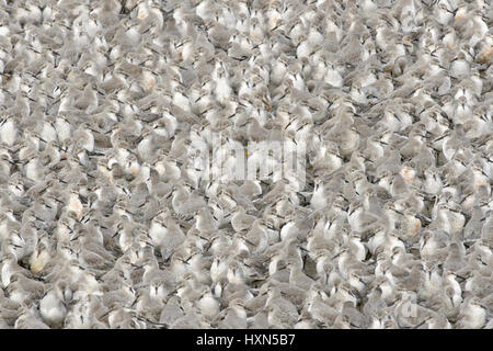 Flock of red knot (Calidris canutus) at high tide roost. Snettisham RSPB reserve, Norfolk, England. October. - Stock Image