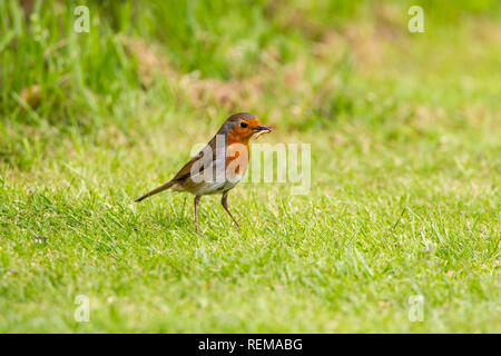 Jaunty Robin Erithacus rubecula on a grassy lawn with a mealworm in its bill - Stock Image