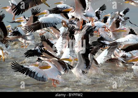 A groupf of great white pelican ( pelecanus onocrotalus) birds in Rann of Kutch, Gujarat, india - Stock Image