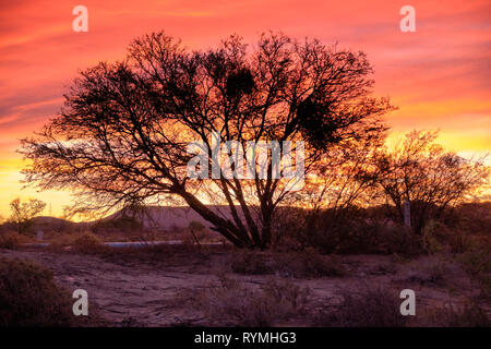 Sunset sky of orange and yellow in the vast  Karoo of South Africa.  Focus on silhouette of large leafless tree with wide reaching branches - Stock Image