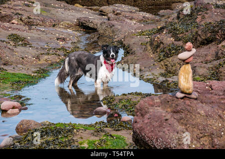 Dunbar, East Lothian, Scotland, UK. 21st Apr 2019. European stone stacking championship:  A dog cools off in a sea puddle next to balanced stones at Eye Cave beach on the second day which comprises 2 competitions, a 3 hour artistic challenge and a children's competition. The overall winner receives a trip to llano Earth Art Festival & World Stone Balancing competition in Texas in 2020. Credit: Sally Anderson/Alamy Live News - Stock Image