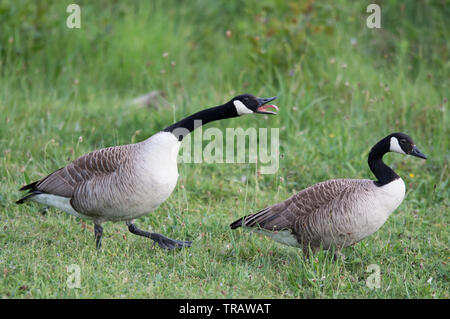 Geese in Panshanger Park. Panshanger Park is a 1000 acre site situated between  the towns Welwyn Garden City and Hertford. - Stock Image