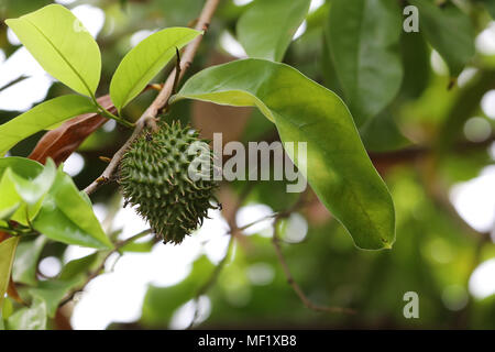Close Up images of Prickly Apple Fruit at Phipps Botanical Garden - Stock Image