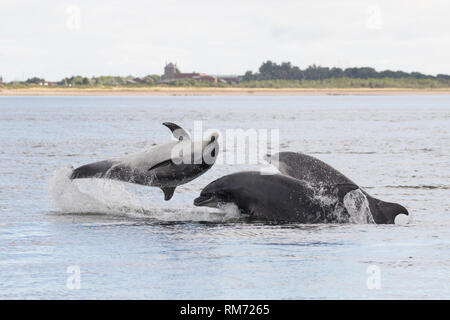Three Bottlenose dolphin (Tursiops truncatus) leaping/breaching in the Moray Firth, Chanonry Point, Black Isle, Scotland, UK, Europe - Stock Image