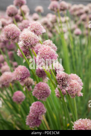 Flowering chives in a garden in Scotland, UK. Taken in the summer month of July during the record breaking temperatures. - Stock Image