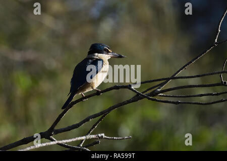 An Australian, Queensland Female Sacred Kingfisher ( Todiramphus sanctus ) perched on a tree branch resting - Stock Image