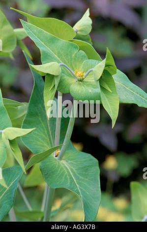 Euphorbia lathyris caper spurge - Stock Image