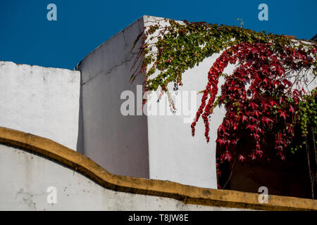 House with red virgin vines in autumn - Stock Image