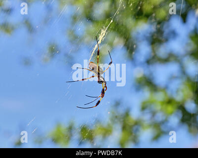 Nephila clavipes or golden silk spider waiting in its spider web in the woods or forest of Alabama, USA. - Stock Image