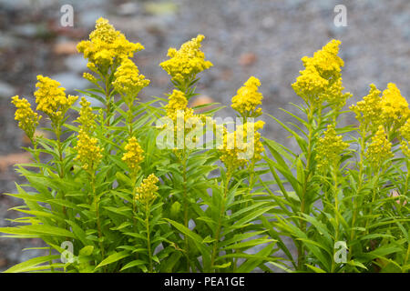 Yellow flowers in conical heads of the late summer blooming dwarf goldenrod, Solidago 'Little Lemon' - Stock Image
