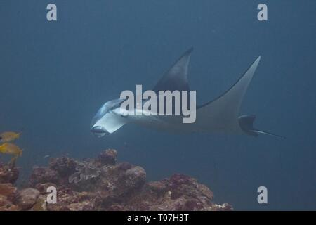 Indian Ocean, Maldives. 18th Mar, 2019. Manta rays glide effortlessly through the water as they feed on plankton this morning in the Maldives. The rays can measure up to 5 meters and will often circle over divers heads as they feed. Credit: Ed Brown/Alamy Live News - Stock Image