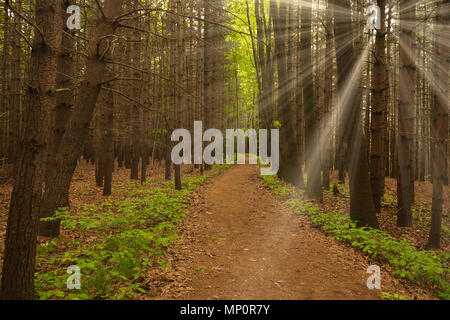Rays of Sun in the forest with path in foreground and contrast of colors - Stock Image