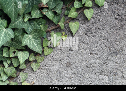 Grey concrete wall & beautiful fresh green ivies with plenty of leaves growing on them. Beautiful background texture image with rustic vibes. - Stock Image