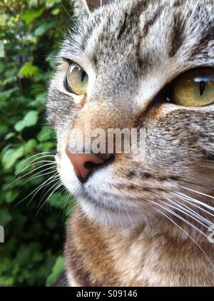 Domestic cat. Close portrait - Stock Image