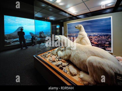 Polar bears on display at the Carnegie Museum of Natural History, Pittsburgh, Pennsylvania, USA - Stock Image