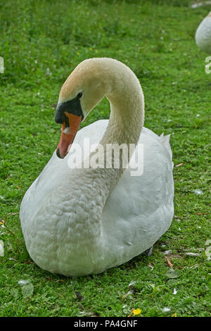 white swan Cygnus olor  mute swan - Stock Image