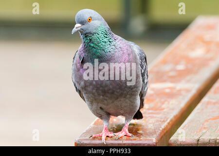 Dove - Stock Image