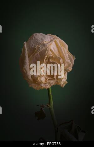Decaying rose - Stock Image