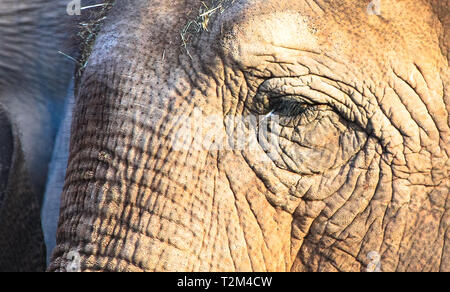 Closeup of the face of an adult asian elephant (Elephas maximus). - Stock Image