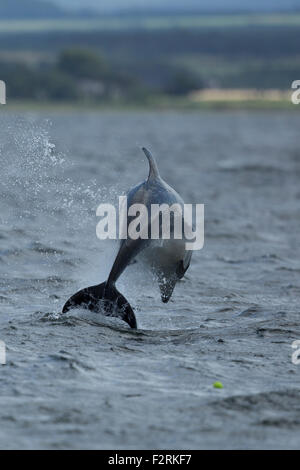 Bottlenose Dolphin leaping in the Moray Firth - Stock Image