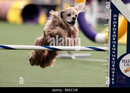 Westminster Dog Show - 9 February 2019, New York City:  Joey, a Cocker Spaniel, competing in the preliminaries of the Westminster Kennel Club's Master's Agility Championship. - Stock Image