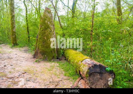 Fallen Tree and Stump - Stock Image