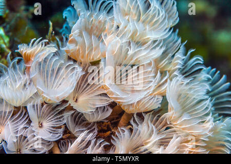 Bispira brunnea, the social feather duster or cluster duster is a species of marine bristleworm - Stock Image