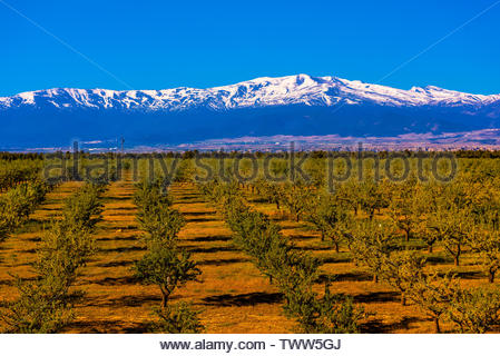 A foreground of olive trees near the town of Guadix, with the snowcapped peaks of the Sierra Nevada Mountains behind, Granada Province, Andalusia, Spa - Stock Image