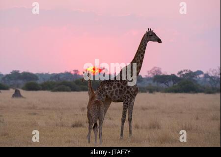 A giraffe with its baby (Giraffa camelopardalis) at sunset, Botswana, Africa - Stock Image
