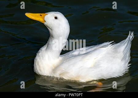 Heavy white duck (Anas platyrhynchos domesticus) - Stock Image