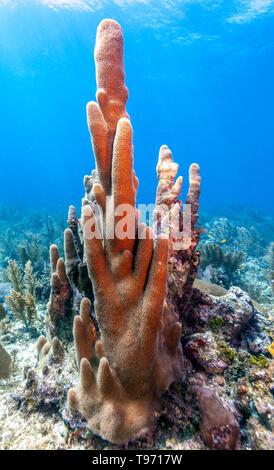 Coral garden in Caribbean off the coast of the island of Roatan, Honduras - Stock Image