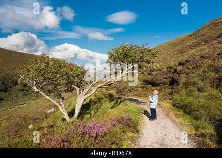 Female walker examining an ancient holly tree on a  path through Glenveagh National Park, County Donegal, Ireland, on a beautiful August day - Stock Image