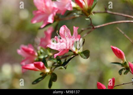Rhododendron 'Pink Pearl' - Hybrid Azalea - April - Stock Image