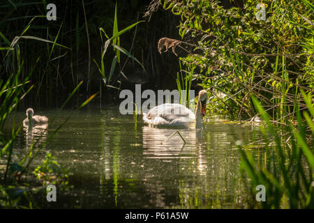 Rutland water Oakham 27 th June 2018: Clear blue sky's heatweve across wetlands visitors watch Black headed Gull chase off a Grey herons and Mute Swan with her Cygnets mother Moorhen feeds young Dragonfly backlight from the sunshine. Credit: Clifford Norton/Alamy Live News - Stock Image
