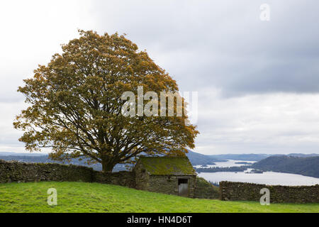 A stone shed beneath a tree on the hills above Windermere in the Lake District - Stock Image