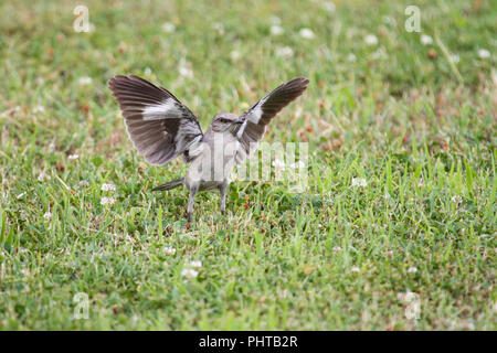 A northern mockingbird hunting insects on a lawn. - Stock Image