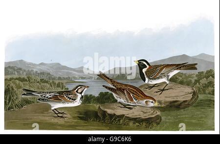 Lapland Longspur, Calcarius lapponicus, birds, 1827 - 1838 - Stock Image