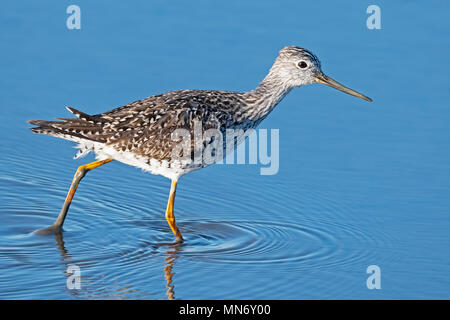 Greater Yellowlegs - Stock Image