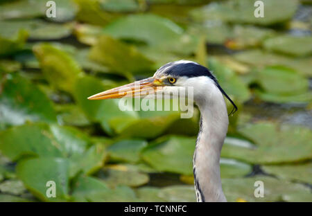 Grey Heron on a pond in Buckinghamshire, UK. Lily pads in the background. - Stock Image