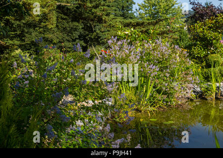 Garden pond with fishing line strung above to deter herons, surrounded by Ceanothus x delileanus 'Gloire de Versailles' - Stock Image