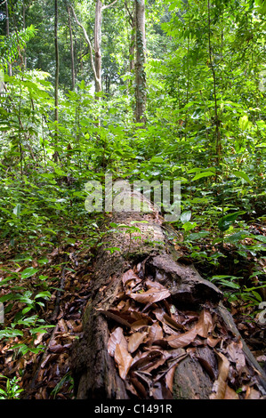 Decaying tree, Leaves in rainforest, Trinidad - Stock Image