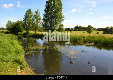 Mother duck with her ducklings on the river at Hylands Estate - House and Gardens, Writtle, Chelmsford, Essex, UK - Stock Image