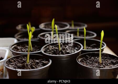 Sweetcorn 'Double Red' seedlings growing indoors in February, Wales, UK - Stock Image