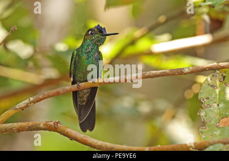 Violet-fronted Brilliant (Heliodoxa leadbeateri sagitta) adult male perched on twig  Copalinga Lodge, Zamora, Ecuador                    February - Stock Image