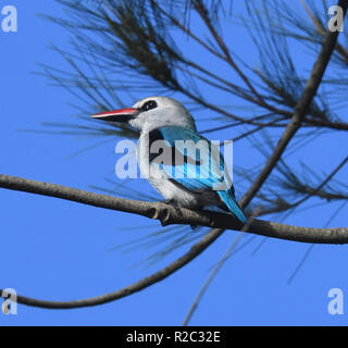 A woodland kingfisher (Halcyon senegalensis) perches in a tree beside Lake Victoria. Entebbe, Uganda. - Stock Image
