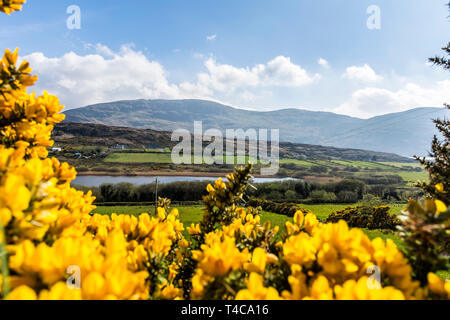 Ardara, County Donegal, Ireland.16th April 2019. Bright flowering gorse or furze frames the landscape on a fine spring day on the north-west coast. Credit: Richard Wayman/Alamy Live News - Stock Image