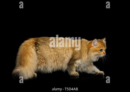 British Cat with adorable Red Fur walk on Isolated Black Background, side view, full length - Stock Image