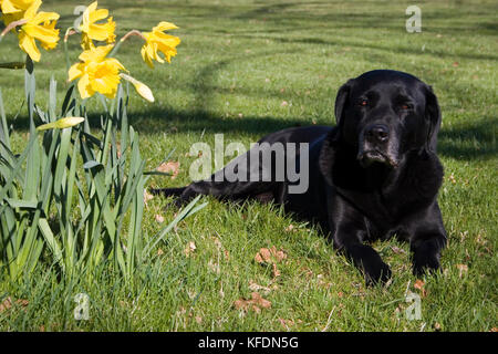 elderly black labrador lying on lawn next to daffodils - Stock Image