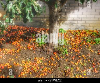 Crabapple Tree trunk with fallen apples in Autumn, Bath, UK - Stock Image